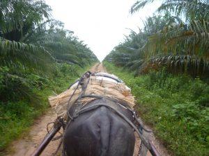 La palma de aceite en Colombia. Fotografía de Daniel Hawkins